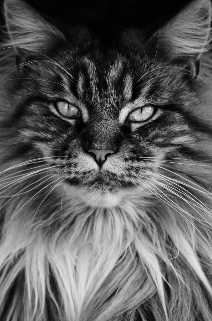 Grey And White Maine Coon : white, maine, Maine, Everything, Ginger, House