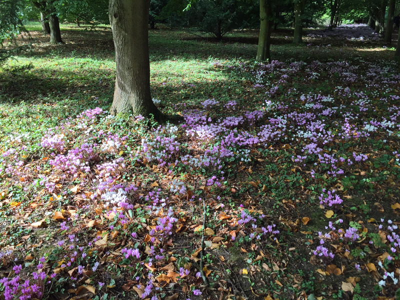 Anglesey Abbey autumn cyclamen