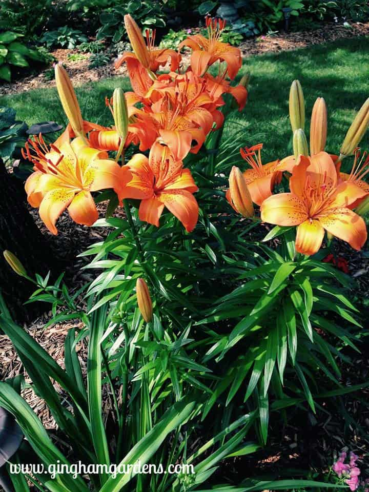 Orange Asiatic Lilies at Gingham Gardens