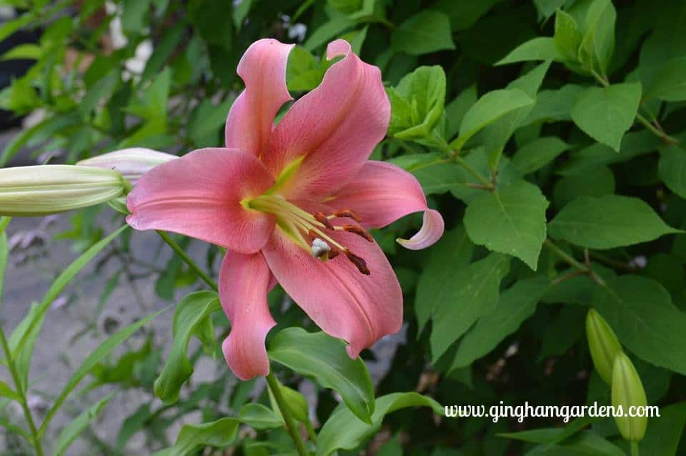 Oriental Lily at Gingham Gardens