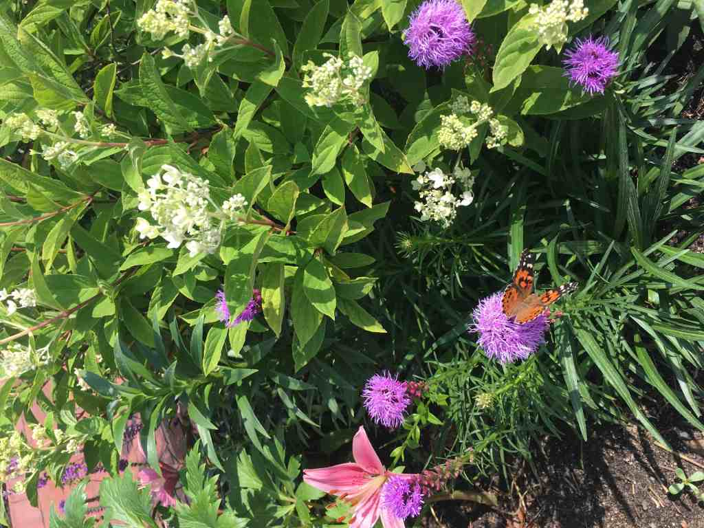 Monarch at Munsinger Gardens featured at Gingham Gardens