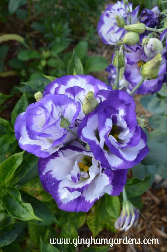 Purple and White Lisianthus at Gingham Gardens