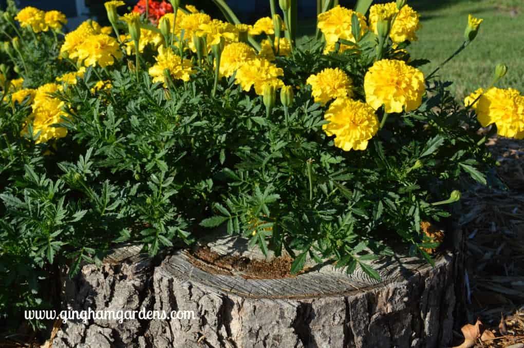 Lemon Drop Marigolds at Gingham Gardens