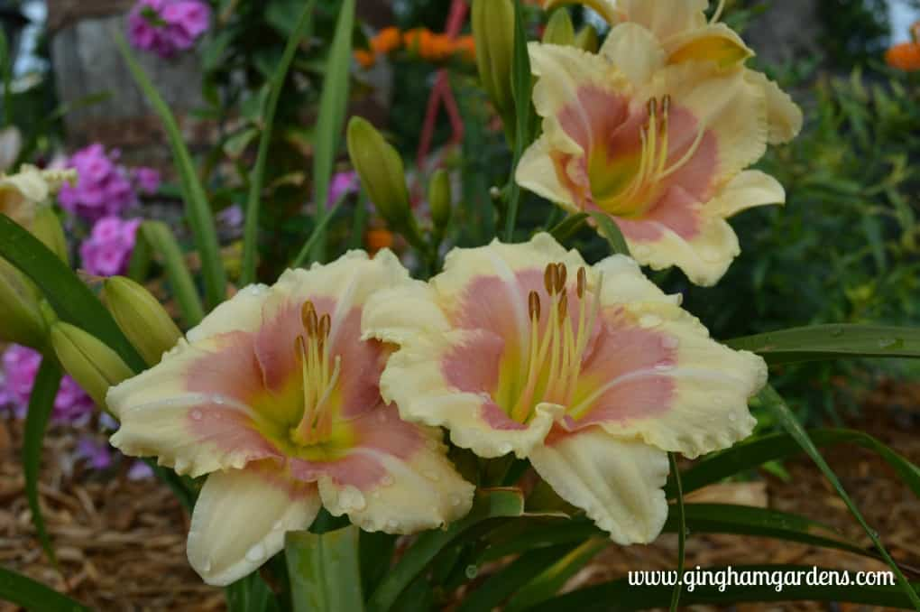 Best Perennials - When My Sweetheart Returns Daylily
