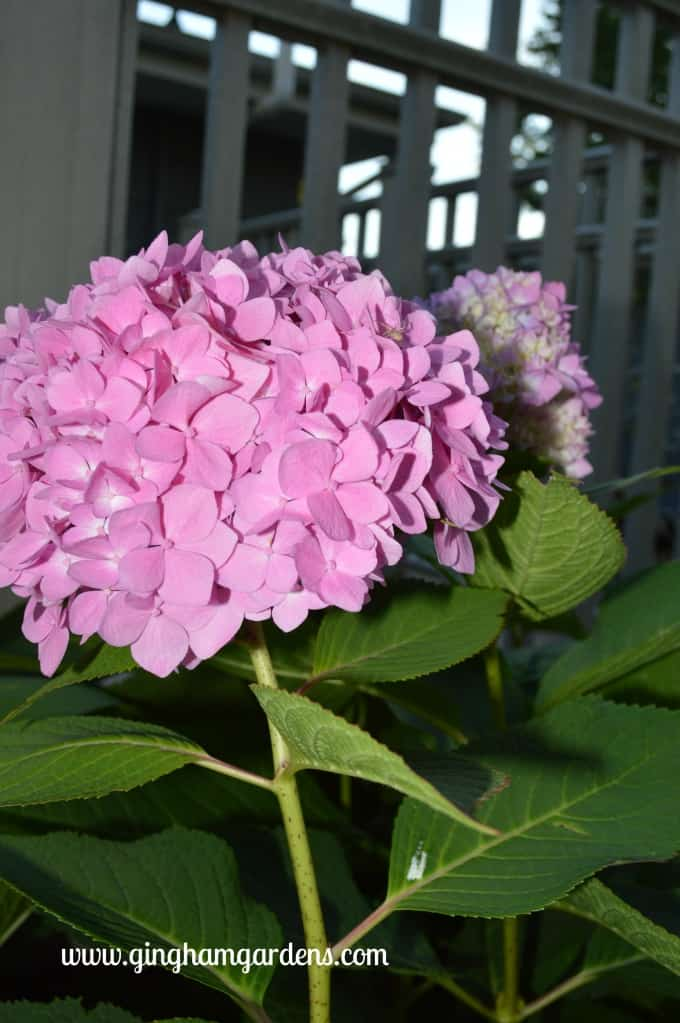 Fall Garden Tour (GBBD) - Endless Summer Hydrangeas