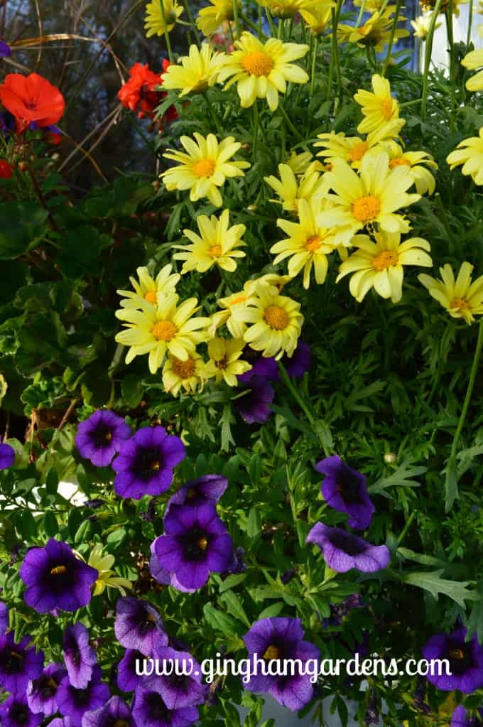 Marguerite Daisies and Purple Supertunia