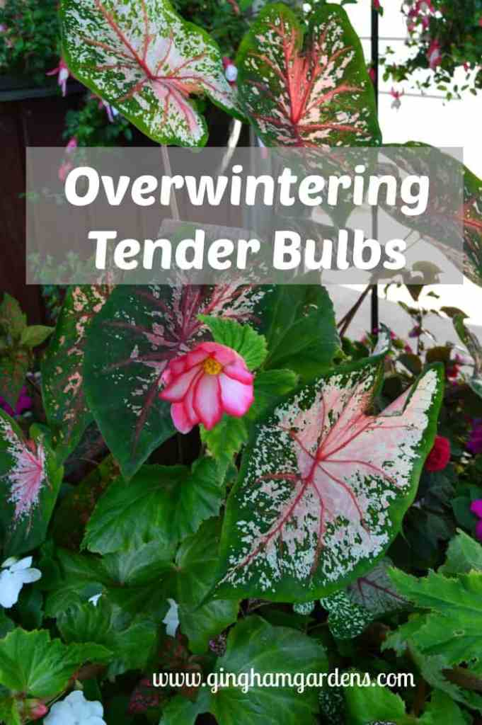 Fall Gardening - Overwintering tender bulbs