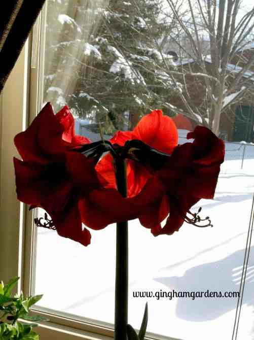 Amaryllis - the perfect winter flower.