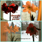 Amaryllis – the Perfect Winter Flower
