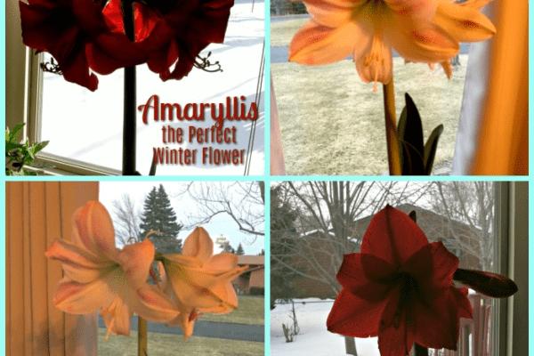 Amaryllis – the Perfect Winter Flower