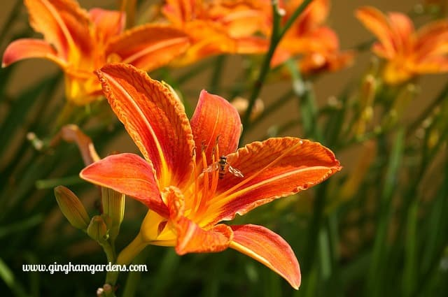 Common Orange Ditch Lilies - Plants Not To Grow In Your Garden