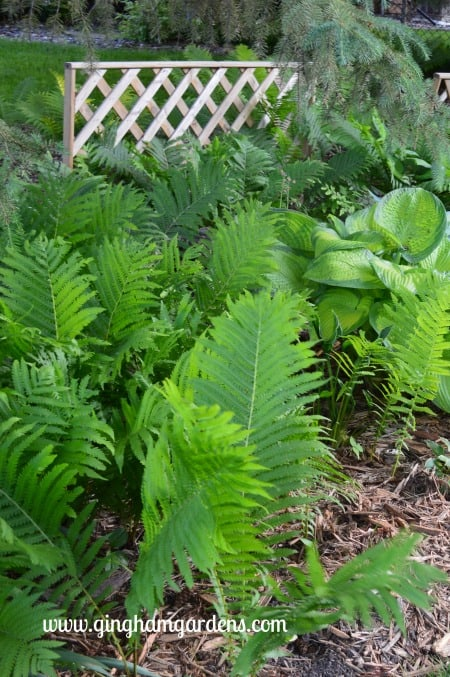 Ostrich Ferns - Invasive Plants You Don't Want In Your Garden