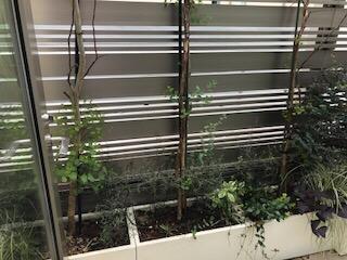 Eucalyptus treibt wieder aus
