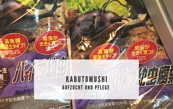 Kabutomushi Aufzucht/ Haltung