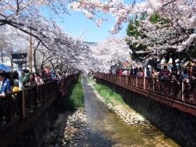 jinhae-cherry-blossom-festival-158
