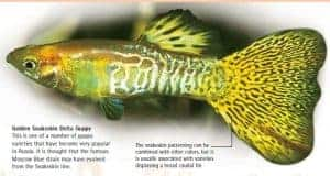 types of guppies golden snakeskin delta guppy