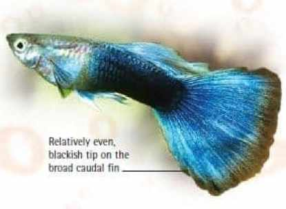 guppy fish tuxedo