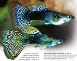 types of guppies tuxedo multi colored guppy fish