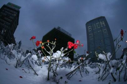 rose-inverno-6-gennaio-2009