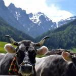 Das Tiroler Grauhvieh - Bildquelle: Tiroler Edle auf Facebook