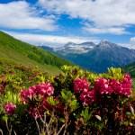 Noch mehr Alpenrosen © Gipfelfieber.com