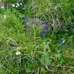 Ein Birkhuhn kauert im Gras ©Gipfelfieber