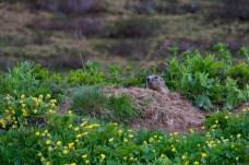 April: Murmeli am Walserweg ©Gipfelfieber