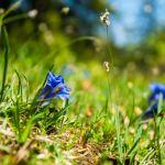 Enzian in voller Blüte ©Gipfelfieber