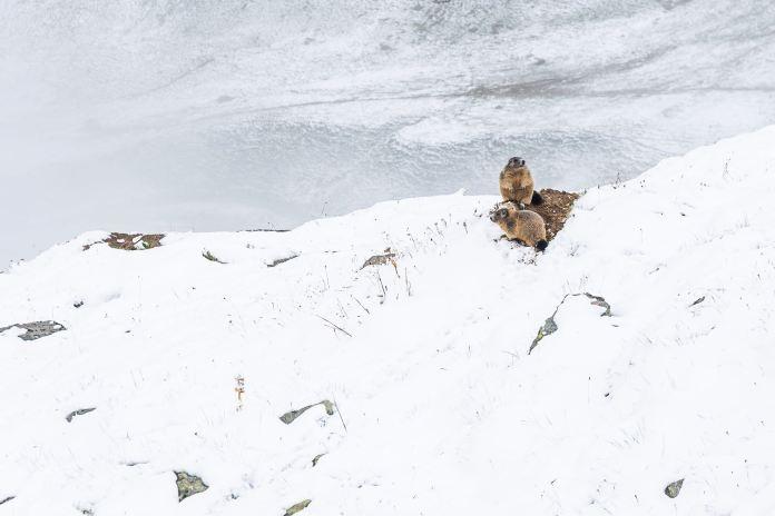 Murmeltiere im Schnee ©Gipfelfieber