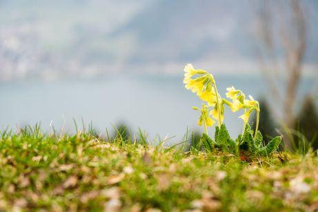 Alpen-Aurikel ©Gipfelfieber