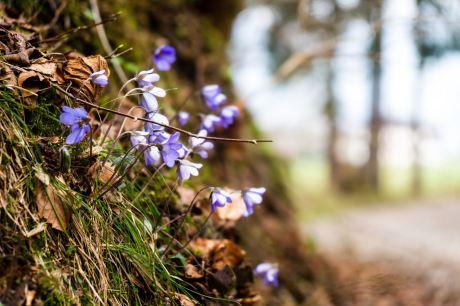 Leberblümchen ©Gipfelfieber