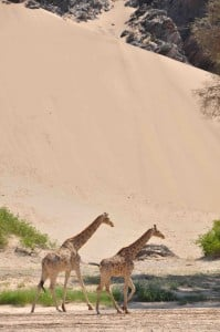 Desert dwelling giraffe2