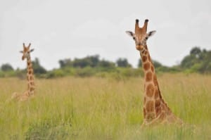 Rothschild's giraffe_MFNP_Male sitting (c) Julian Fennessy, GCF