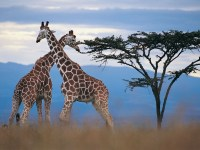 Where do Giraffes Live? Facts About the Habitat of an Elephant