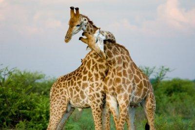 Hugging giraffes.jpg