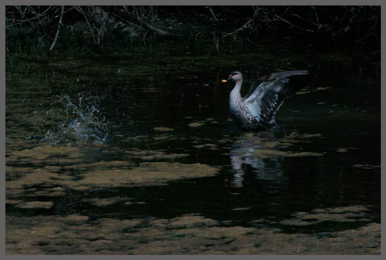 the Eastern Spot-billed Duck (A. p. zonorhyncha)
