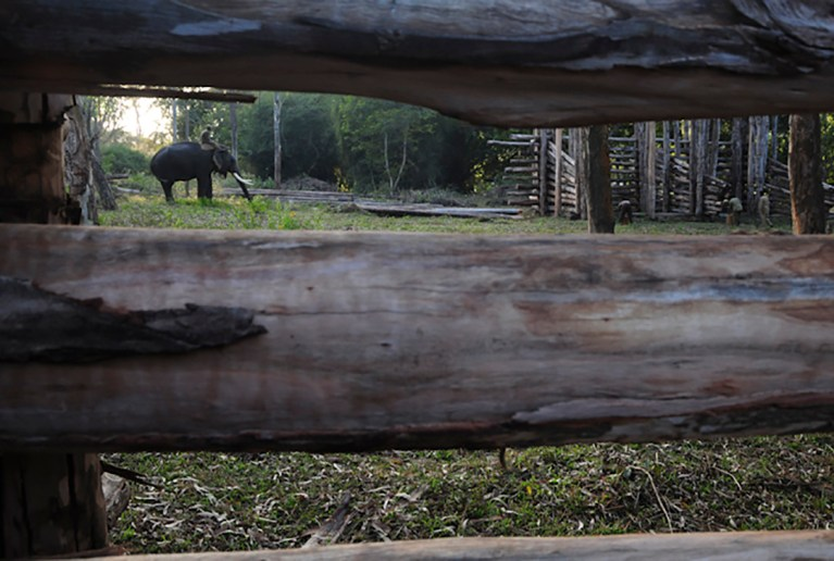 Mahut-elephant-23