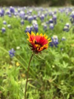 Hill country flowers in bloom
