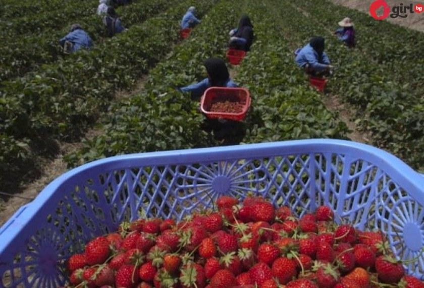 Гурбет за ягоди