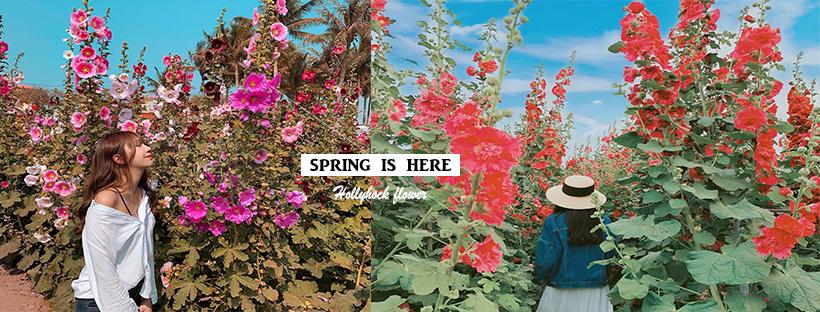比你還高!來到小巨人的花花世界,漫步在蜀葵花海裡,穿梭在粉粉紅紅的迷宮中讓你拍到不想回家!