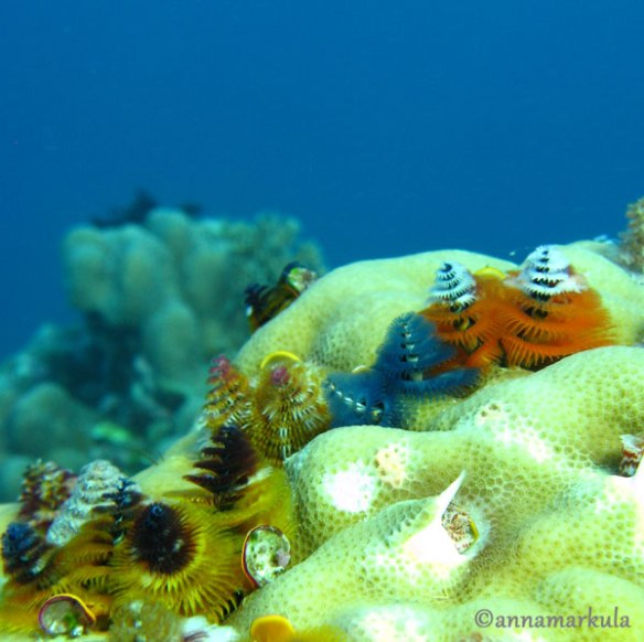 xmas tree worms