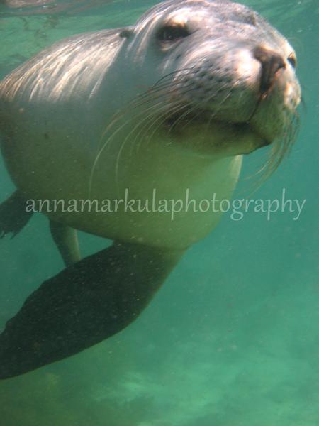 australian_sea_lion
