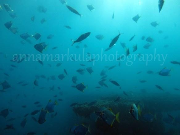 diamondfish_with_wreck