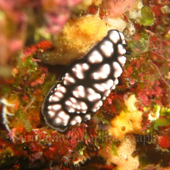 Phyllidiella_pustulosa