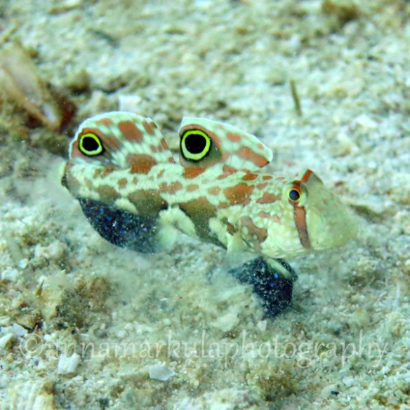 P38_twinspot_goby