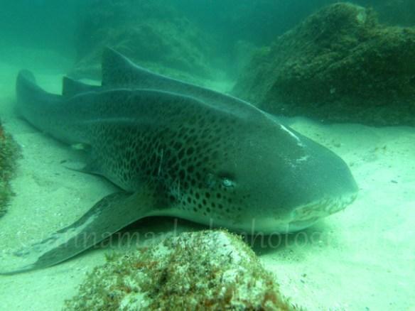 leopard_shark