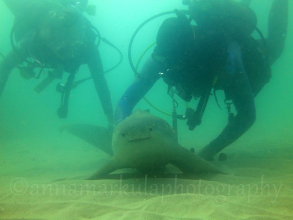 leopard_shark_with_divers