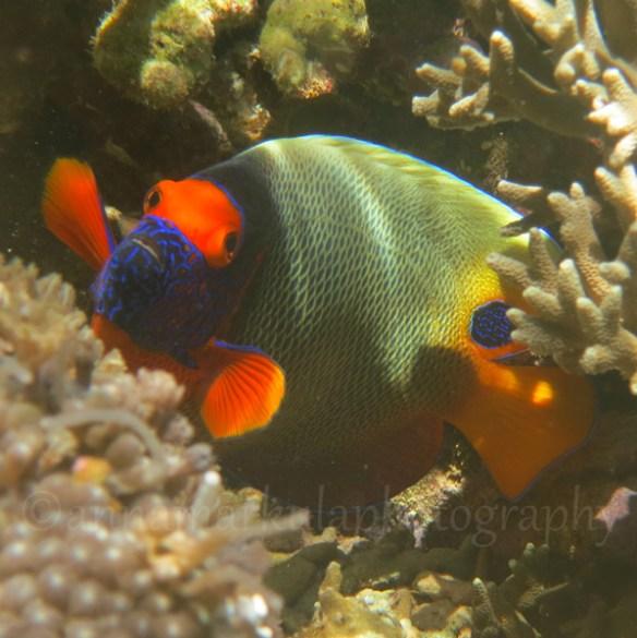 Yellowmask_angelfish