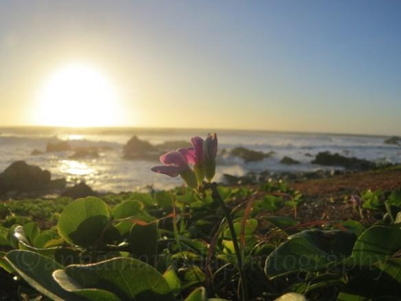 coastal_jack_bean