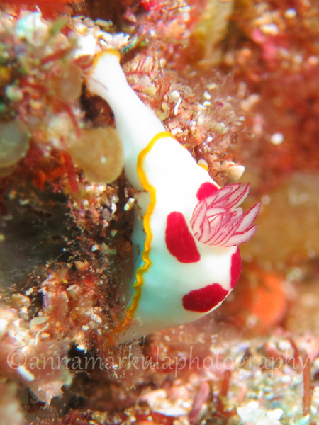 Chromodoris_splendida